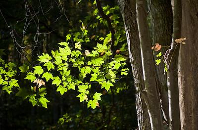 Sunlit Leaves 1- NC