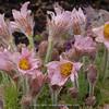 Pulsatilla 'Barletts Pink'