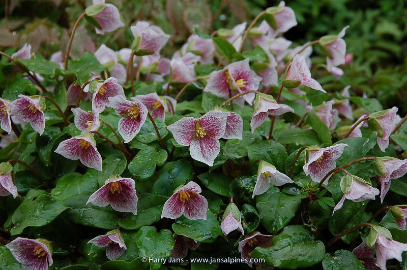 Trillium rivale 'Purple Heart'
