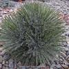 Yucca harrimaniae