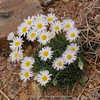 Chrysanthemum spec ?