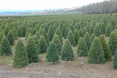 Christmas Trees, near Dancing Oaks Nursery