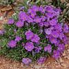 Phlox kelseyi 'Lemhi Purple'