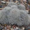 Echinocereus reichenbachii v albispinus
