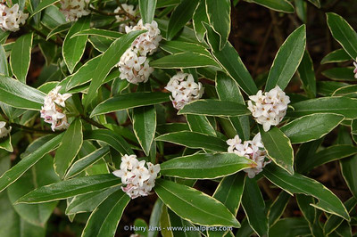 Daphne odora 'Variegata'