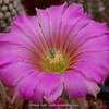 Echinocereus spec.