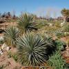 Denver Botanic Gardens, Yucca brevifolia  (Joshua tree)