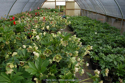 Helleborus hybrids in tunnel