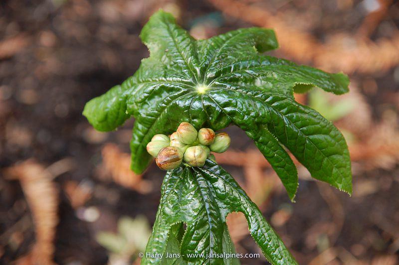 Podophyllum pleianthum