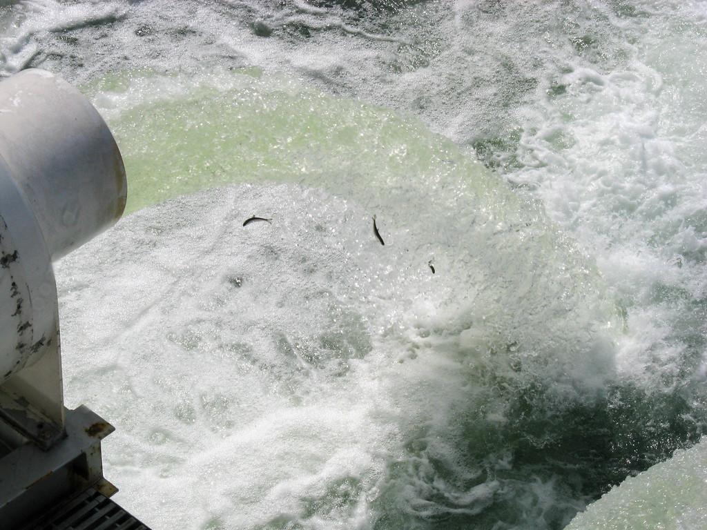 Baby salmon exiting the dam at Lake Union and the Ballard Locks