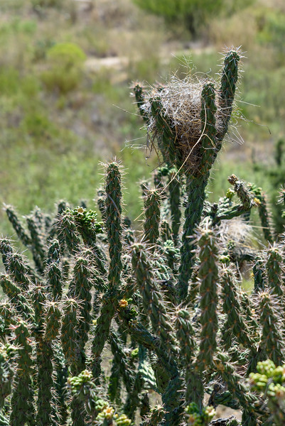 Cactus Wren Nest in Cholla
