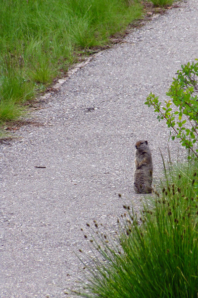 Pika on the trail at the Menors Ferry Historic District, Grand Teton National Park.