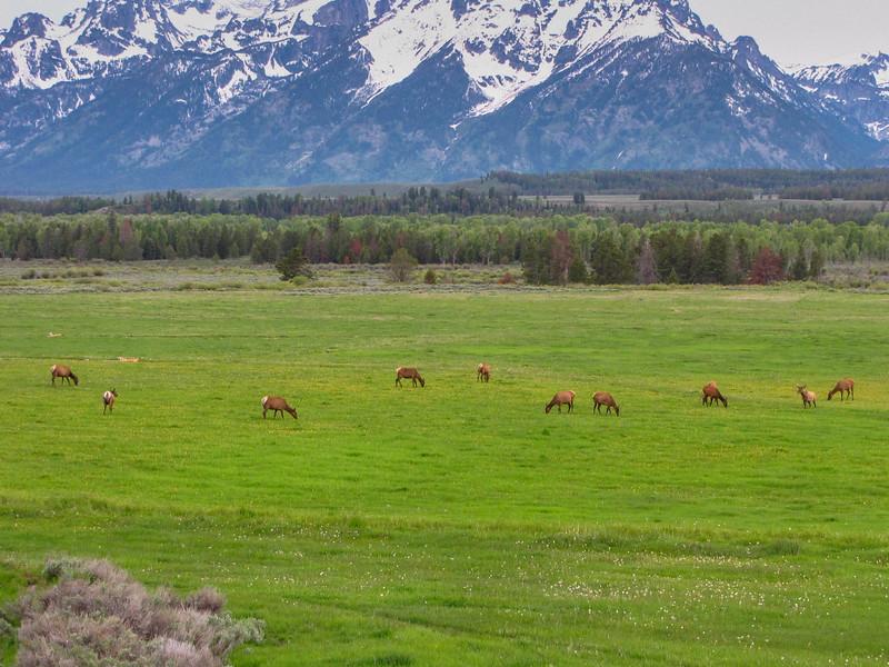 Elk herd outside of Jackson, WY.