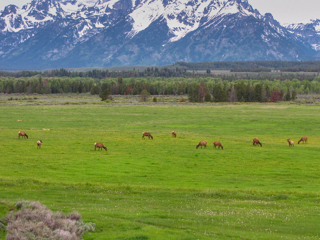 Elk herd outside of Jackson, WY.