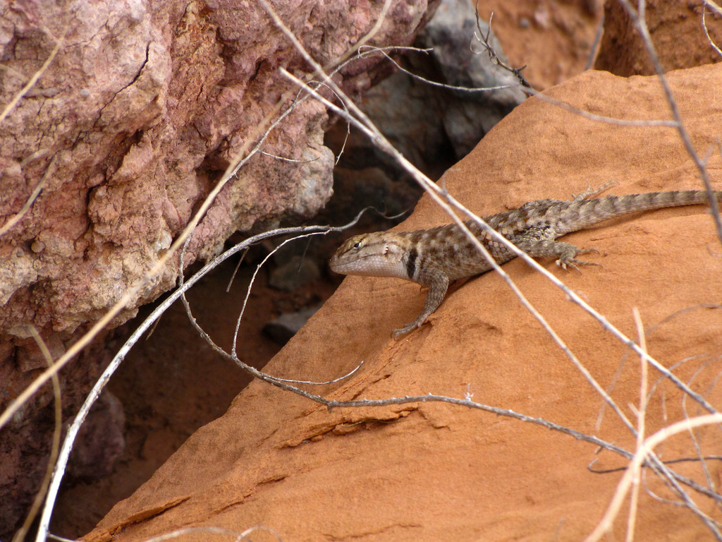 A lizard on the rocks at Lee's Ferry.