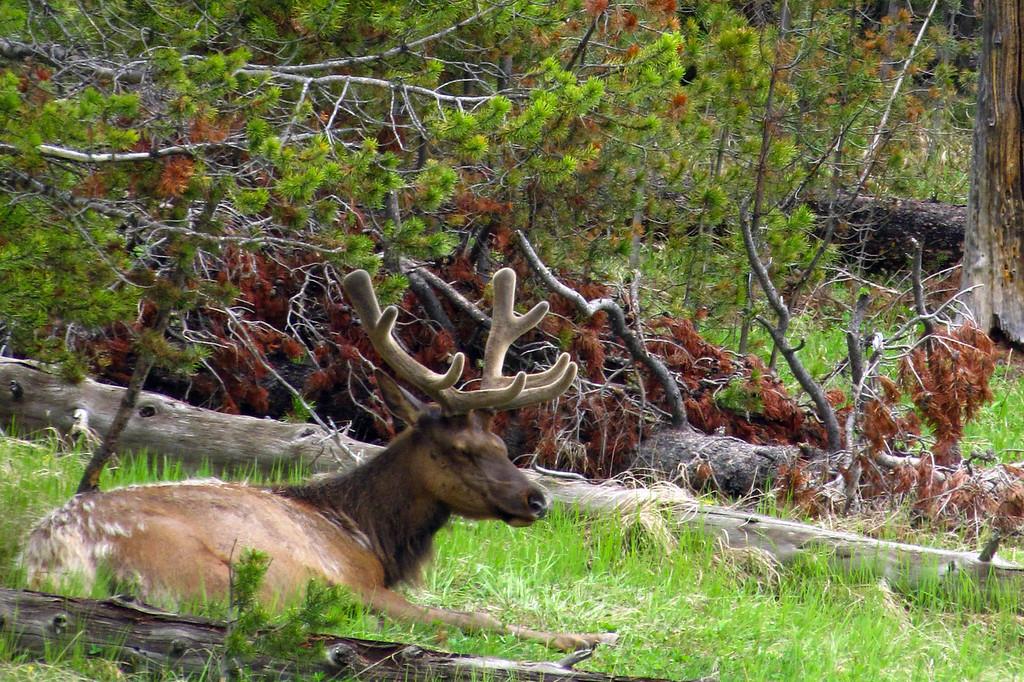 Elk, Yellowstone National Park.