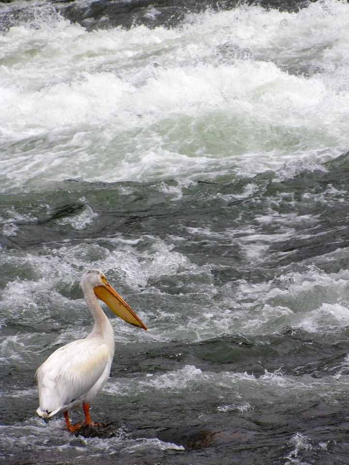 Pelican in the Yellowstone River, Yellowstone National Park.