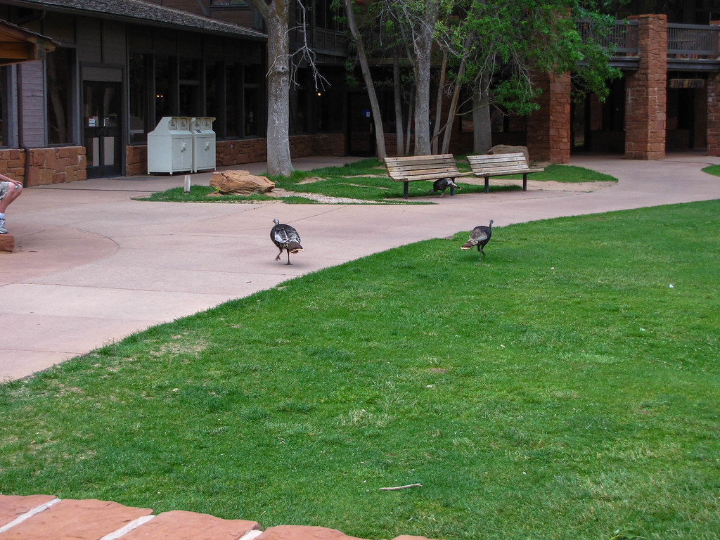 Wild turkeys on the Zion National Park Lodge lawn.
