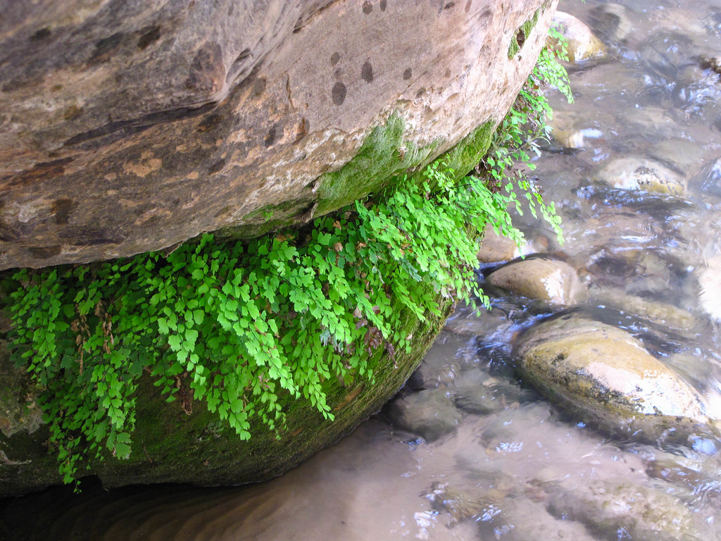 Ferns hanging on a rock above the Zion River in The Narrows.