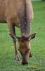 Elk, Mammoth Hot Springs