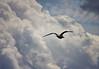 Gull above Yellowstone Lake
