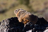 Yellow-bellied Marmot, above Tower
