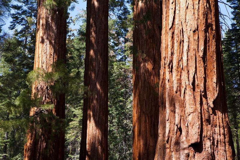 Giant Sequoias<br /> Mariposa Grove