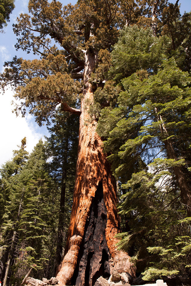 Giant Sequoia<br /> Mariposa Grove