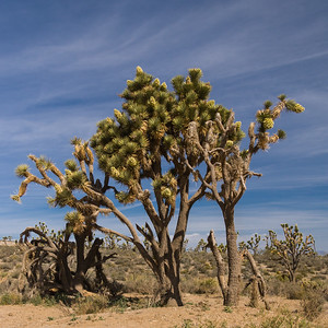 Joshua Tree, Joshua Tree National Park, Mojave Desert, California