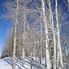 Birch Trees in the Snow, Aspen, Colorado, USA