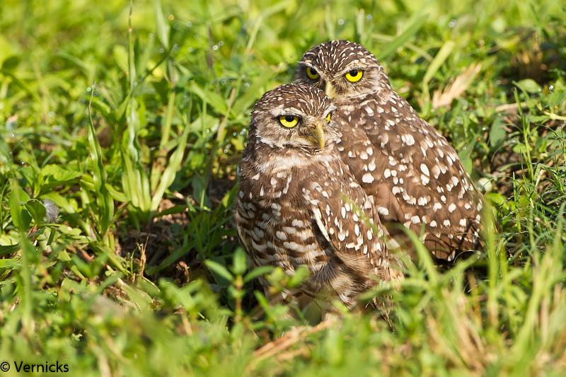 20110903Owl HDR110903_B9G7016Burrowing Owls