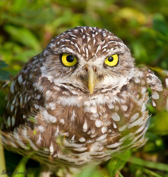 20110903burrowing owls20110903-_MG_8811burrowing owls-Edit