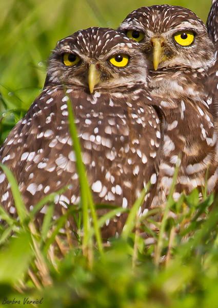 20110903burrowing owls20110903-_MG_8911burrowing owls