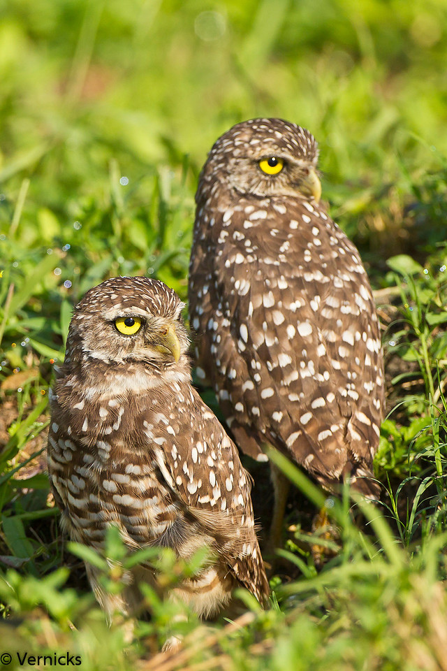 20110903Owl HDR110903_B9G7037Burrowing Owls