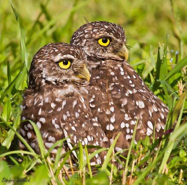 20110903burrowing owls20110903-_MG_9166burrowing owls-Edit