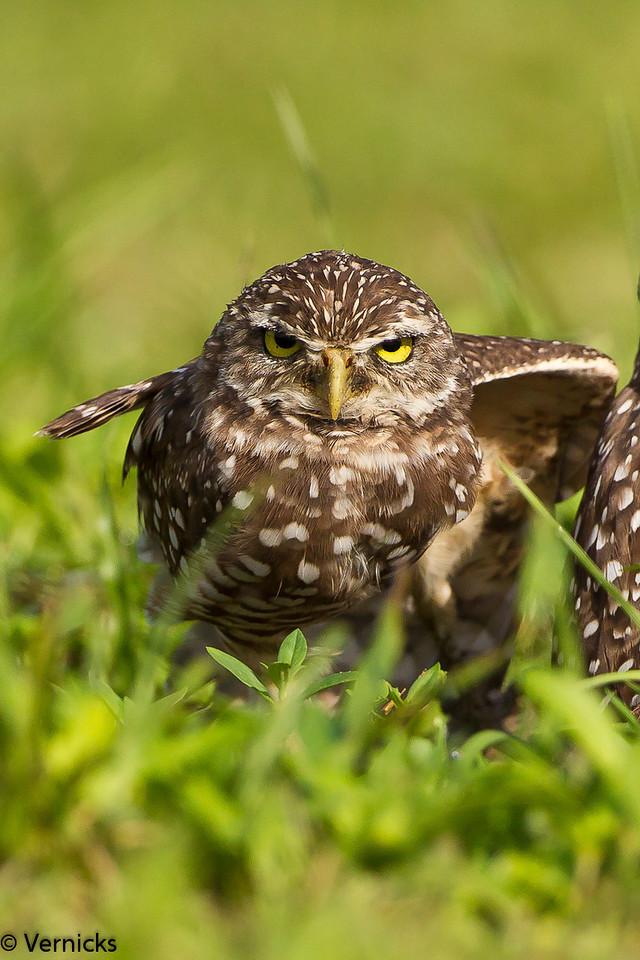 20110903Owl HDR110903_B9G6851Burrowing Owls