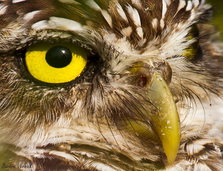 20110903burrowing owls20110903-_MG_8833burrowing owls