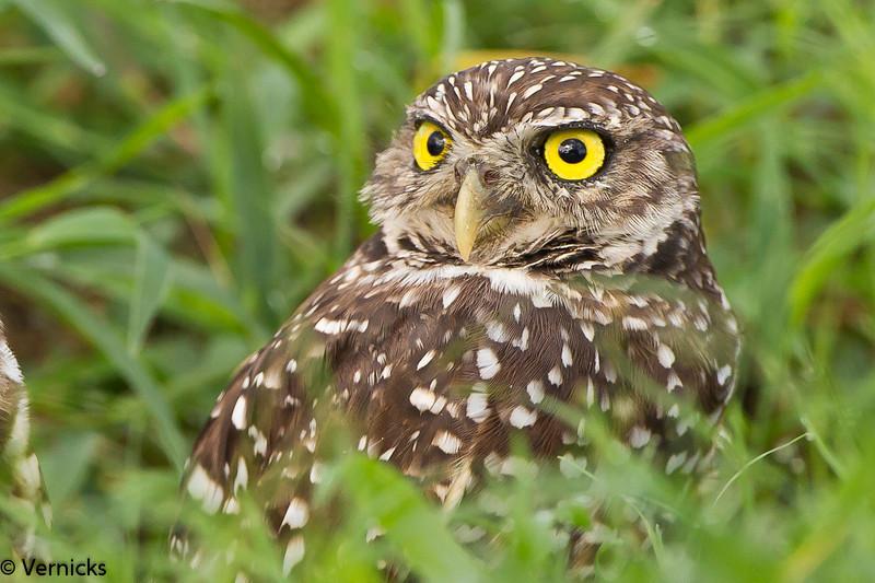 20110903Owl HDR110903_B9G7064Burrowing Owls