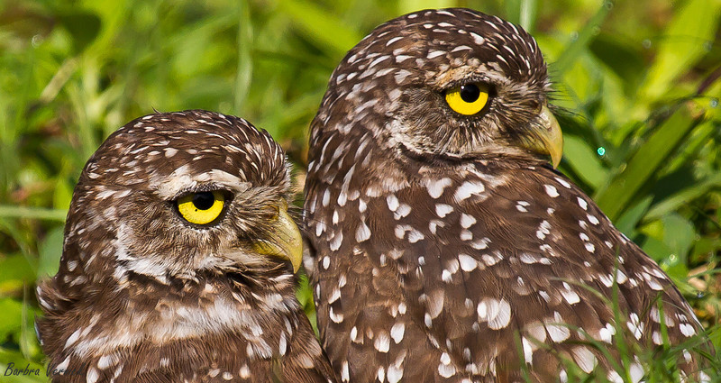20110903burrowing owls20110903-_MG_9240burrowing owls