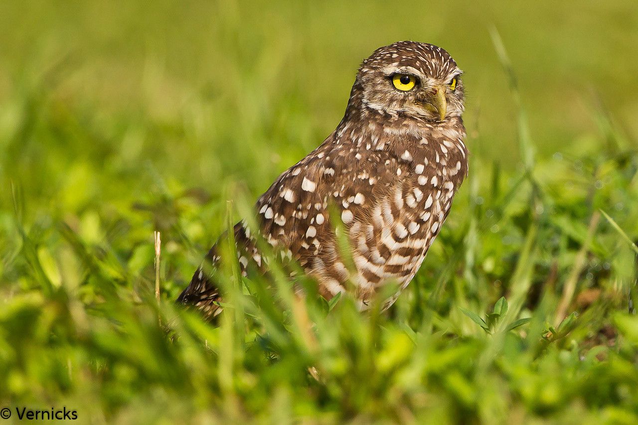 20110903Owl HDR110903_B9G6860Burrowing Owls