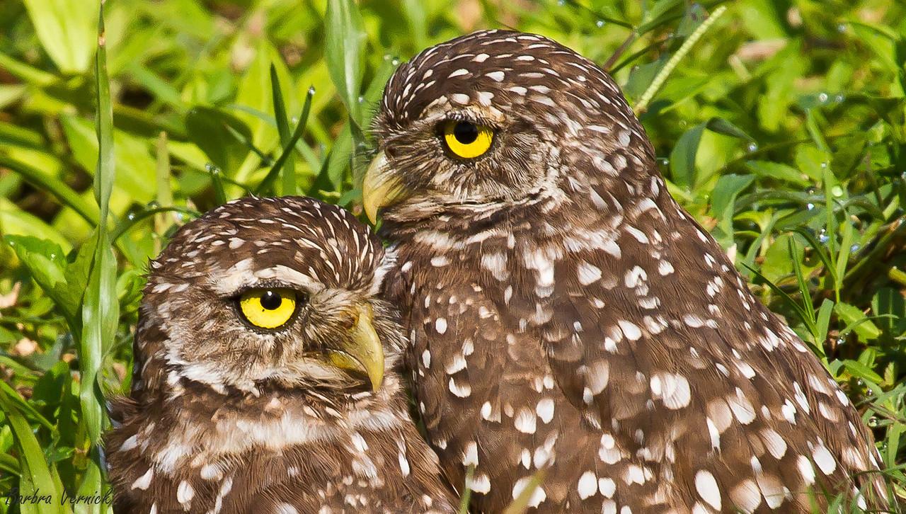 20110903burrowing owls20110903-_MG_9216burrowing owls