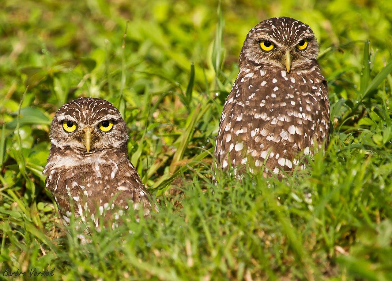 20110903burrowing owls20110903-_MG_9271burrowing owls