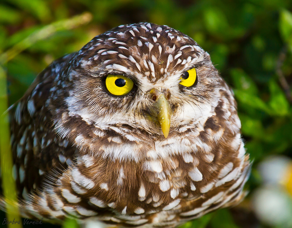 20110903burrowing owls20110903-_MG_8844burrowing owls