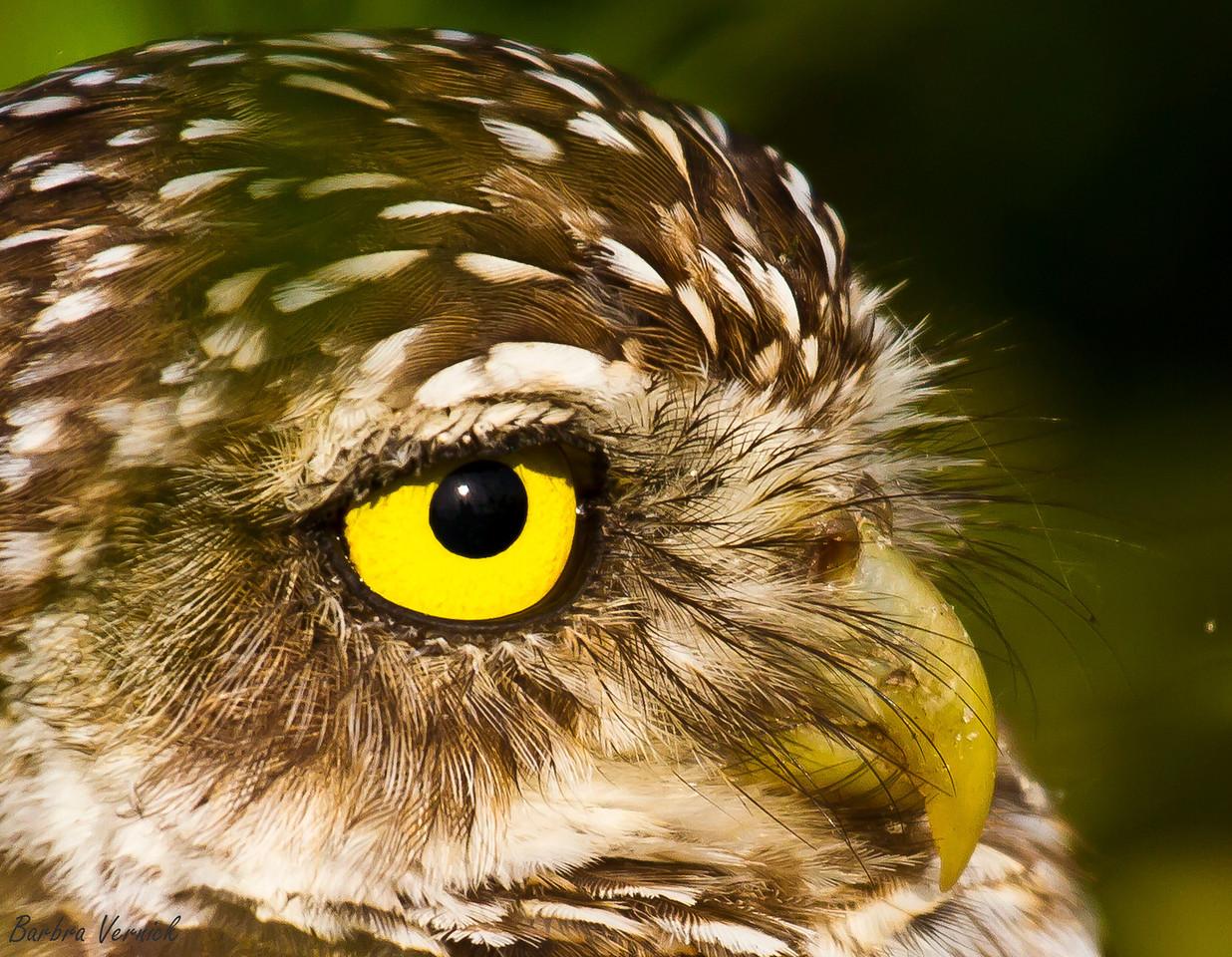 20110903burrowing owls20110903-_MG_8838burrowing owls