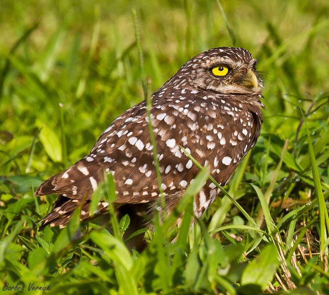 20110903burrowing owls20110903-_MG_9040burrowing owls
