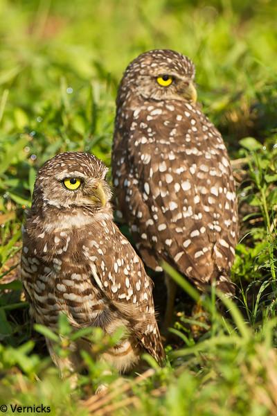 20110903Owl HDR110903_B9G7040Burrowing Owls