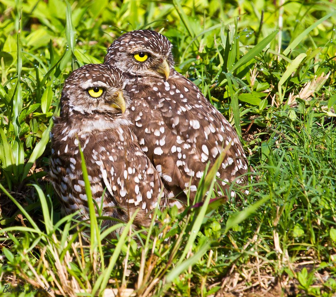 20110903burrowing owls20110903-_MG_9196burrowing owls