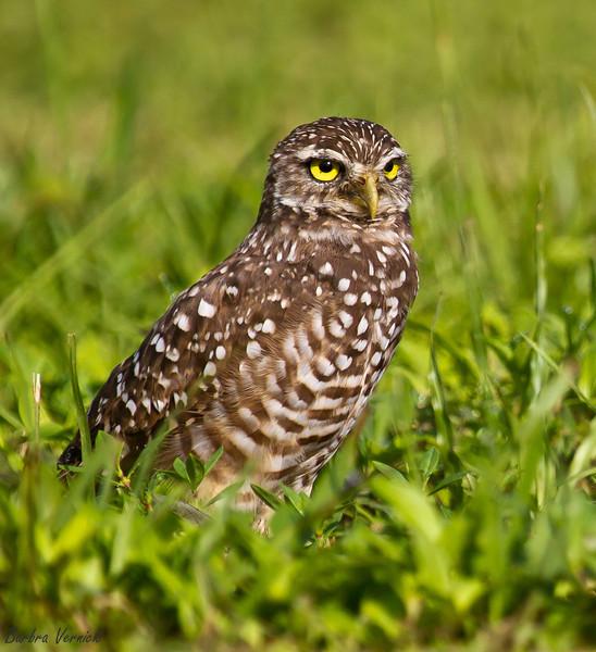 20110903burrowing owls20110903-_MG_8976burrowing owls