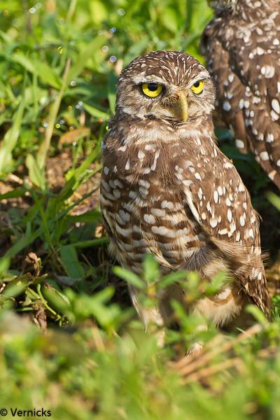 20110903Owl HDR110903_B9G7028Burrowing Owls