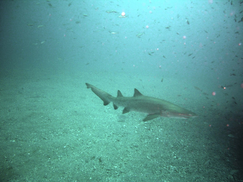 Sand Tiger shark on the prowl